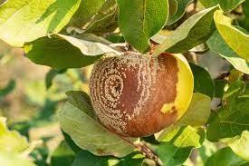 Moniliose du citronnier